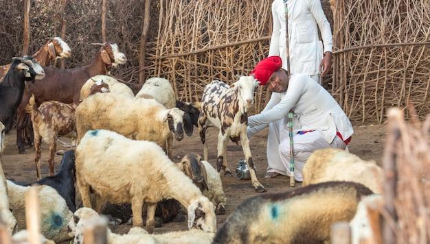 Rajasthani stammesmann trägt traditionelle bunte freizeit und nimmt die ziegenmilch