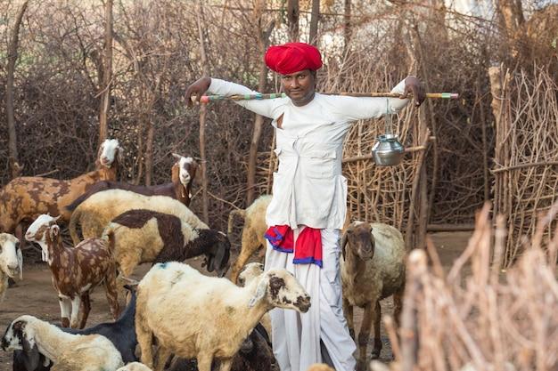 Rajasthani stammesmann trägt traditionelle bunte lässige und hütende schafherde auf dem feld