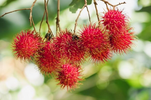 Rambutan am baum ist eine süße frucht, die viele menschen in thailand mögen