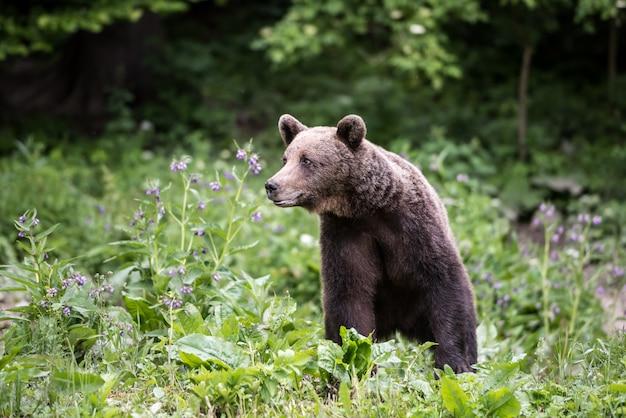 Rand des braunbären im wald.