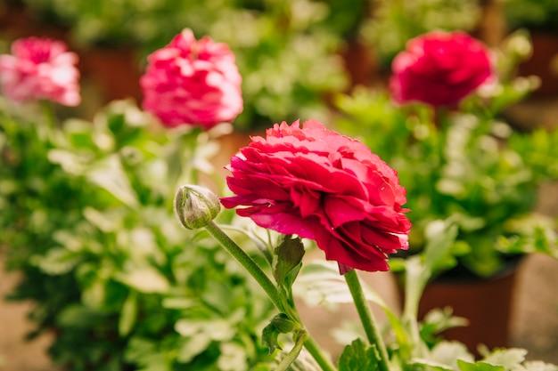 Ranunculus asiaticus oder rosafarbene blume der persischen butterblume mit der knospe