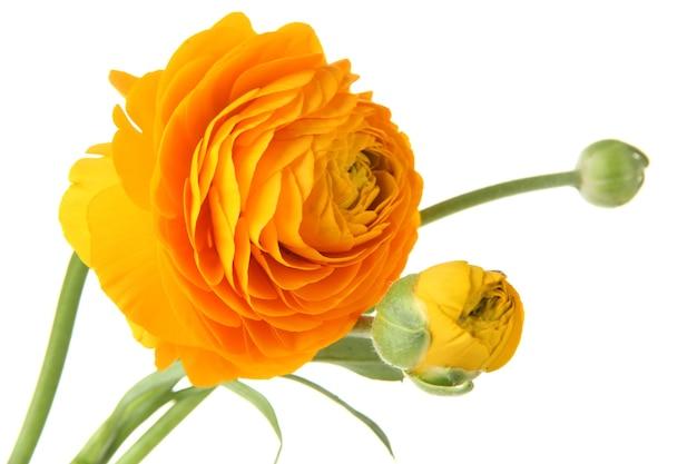 Ranunkel (persische butterblumen), isoliert auf weißer oberfläche