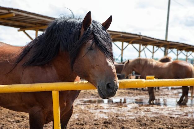 Rany day, schönes braunes pferd mit schwarzer mähne auf dem bauernhof. nahaufnahme des pferdegesichts, hengstzüchter der rasse litauischer schwerer lkw