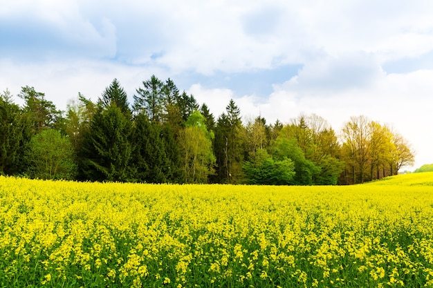 Rapsanbau, rapsfeld, pflanzen mit gelben blüten.