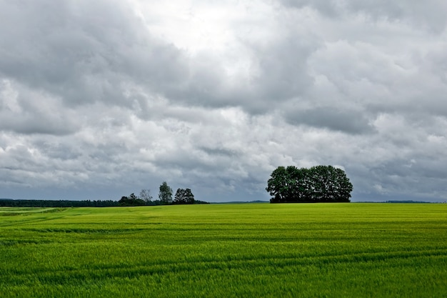 Rapsfeld im sommer. gelbes rapsfeld unter blauem himmel mit sonne