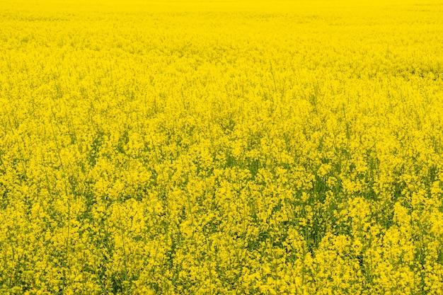 Rapsfeld, rapslandschaft, gelbe ölsaatenblüten