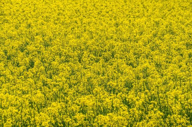 Rapsfeld zur gewinnung von biokraftstoff und rapsöl.