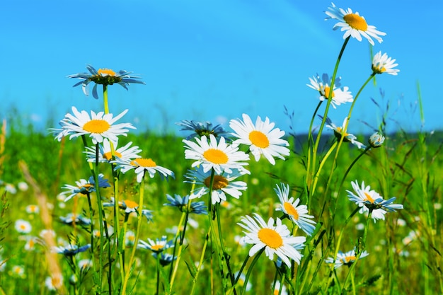 Rasen der weißen gänseblümchen auf hintergrund des blauen himmels