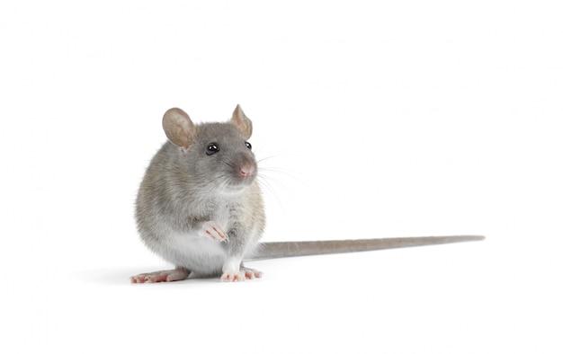 Ratte auf weiß isoliert