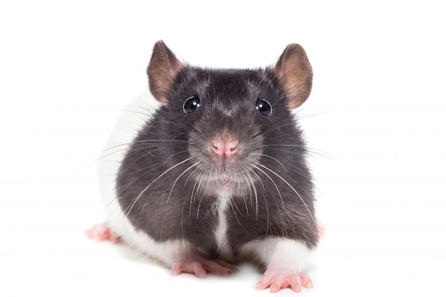 Ratte auf weiß