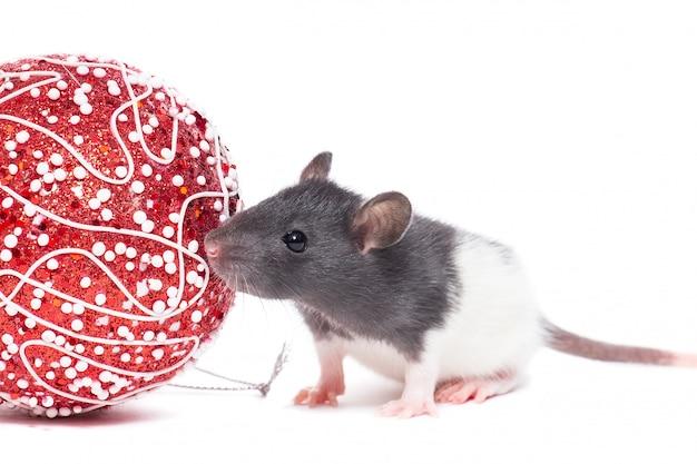 Ratte auf weißem hintergrund