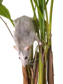 Ratte in der pflanze