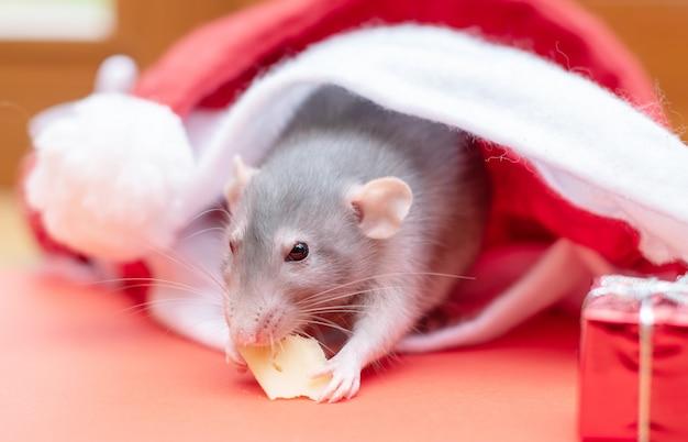 Ratte in weihnachtsmütze