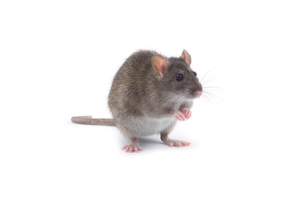 Ratte isoliert auf weiß