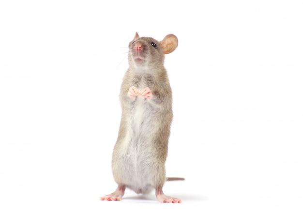 Ratte, isoliert auf weiss