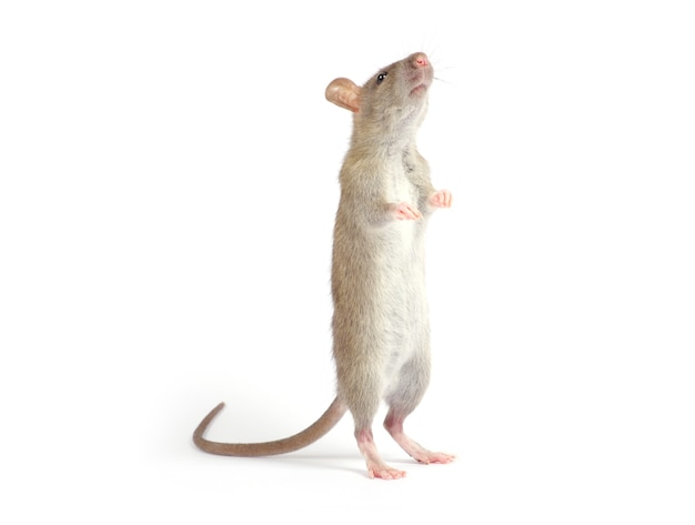 Ratte isoliert auf weißem hintergrund