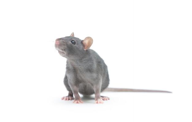 Ratte isoliert auf weißer oberfläche