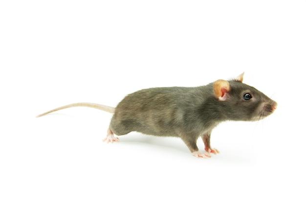 Ratte isoliert