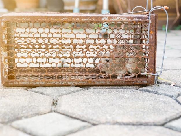Ratte ist in einem fallenkäfig gefangen