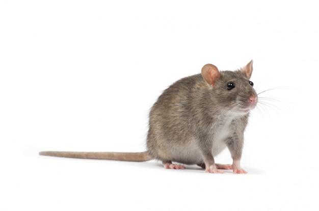 Ratte tier