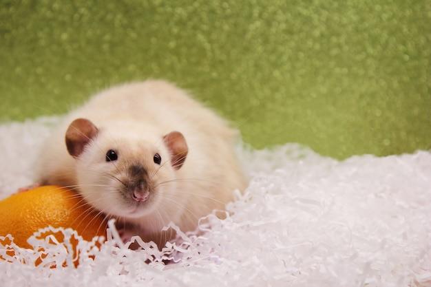 Ratte und die mandarine. die ratte ist ein symbol des neuen jahres 2020.