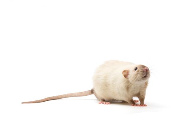 Ratten-nahaufnahme isoliert auf weiß