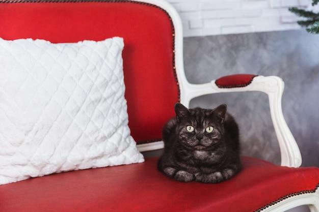 Rauchig-graue colorlies der britischen zuchtkatze auf einem roten sofa