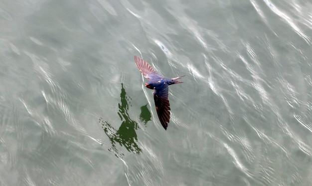 Rauchschwalbe fliegt über das wasser mit geöffneten flügeln