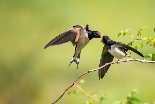 Rauchschwalbe (hirundo rustica) füttert ihr nest im flug.