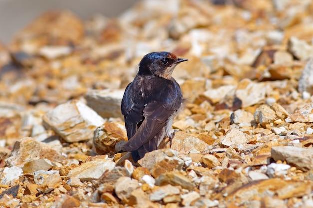 Rauchschwalbe hirundo rustica schöne vögel von thailand