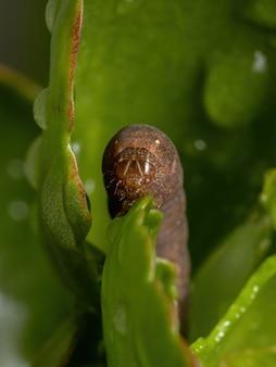 Raupe der gattung spodoptera frisst die blume der pflanze flaming katy der art kalanchoe blossfeldiana
