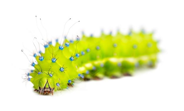 Raupe der giant peacock moth, saturnia pyri, gegen weiße oberfläche