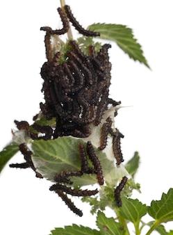 Raupe eines pfauenschmetterlings (inachis io) auf einer brennnessel