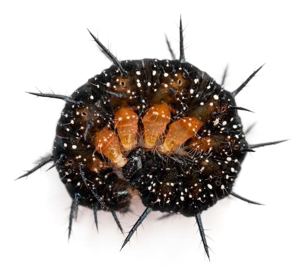 Raupe eines pfauenschmetterlings (inachis io) aufgerollt
