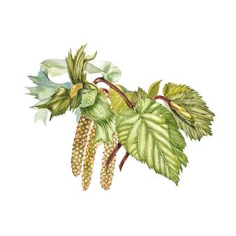 Realistische illustration des aquarells von haselnüssen. satz aquarellhaselnusselemente, handgemalt lokalisiert