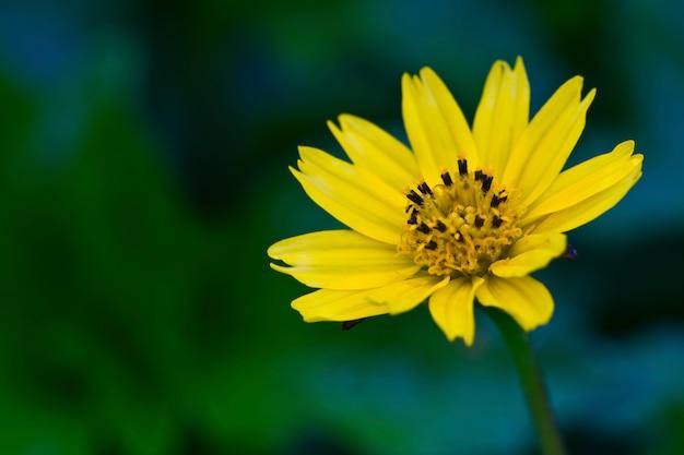 Recht gelbe gänseblümchen