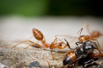 Red Ant Teamarbeit