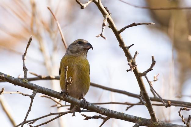 Red crossbill loxia curvirostra, weiblich thront auf einem ast schöner singvogel.