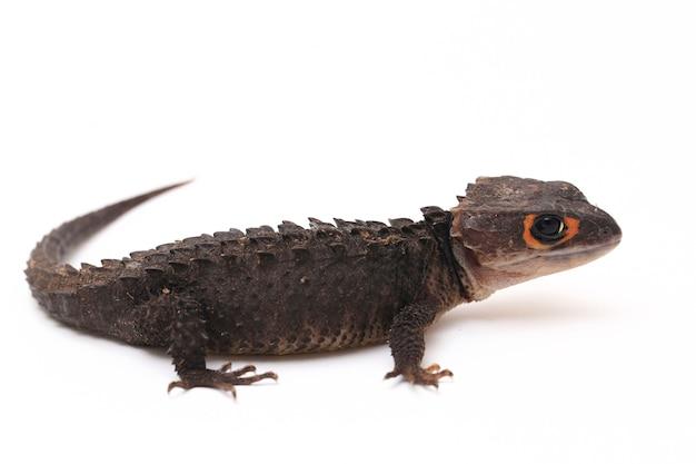 Red-eyed crocodile skinks eidechse auf weißem raum