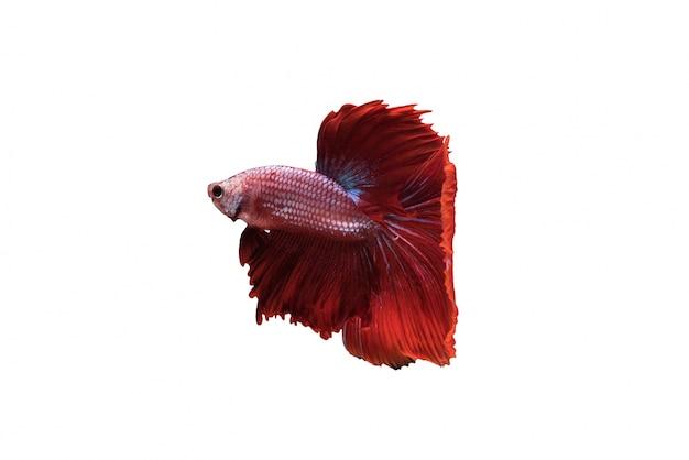 Red halfmoon betta splendens oder siamesischen kampffisch isoliert