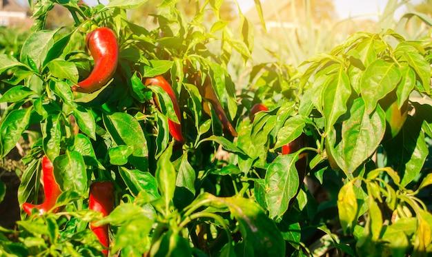 Red hot pepper wächst auf dem gebiet. anbau von bio-gemüse. umweltfreundliche produkte.