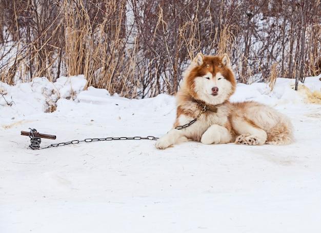 Red malamute im kindergarten für hunde im winter