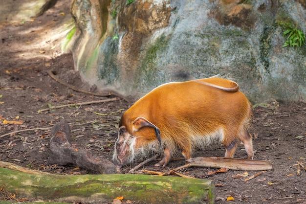 Red river schwein in den wild lebenden tieren