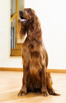 Red setter zu hause
