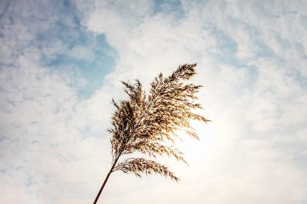 Reed nahaufnahme auf einem wolken