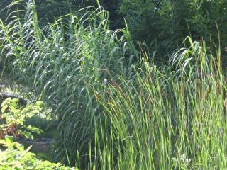 Reeds, grün