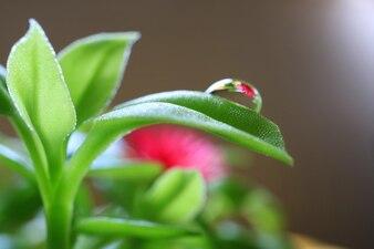 Reflexion der Blume von Baby Sun Rose-Anlagen auf Wassertröpfchen am Rand seines Blattes
