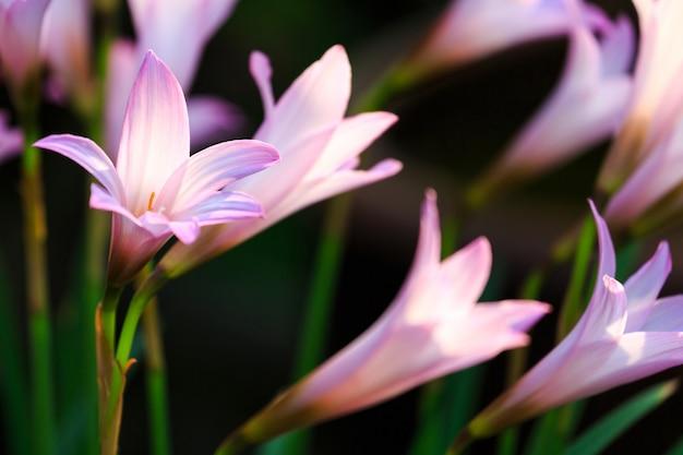 Regen lily blumen