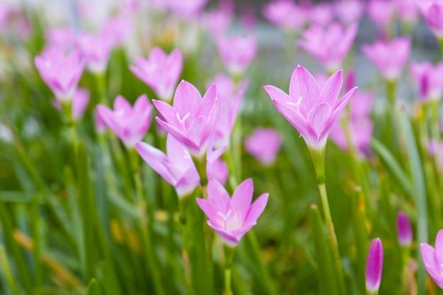 Regen lily