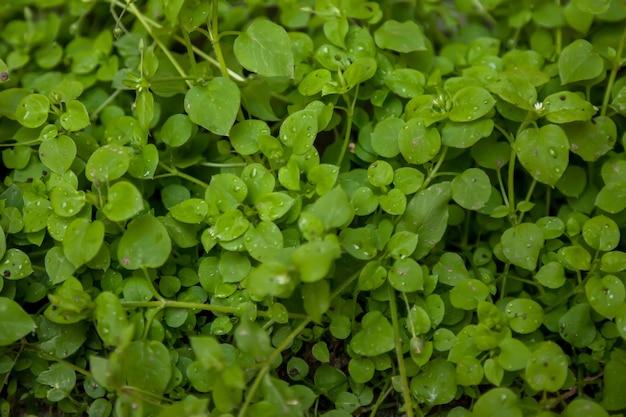 Regen- oder tautropfen auf hellgrünem gras. hintergrund des grüns am frühen morgen. selektiver fokus. gras wächst. natürliche effekte. phänomen. konzept der gartenarbeit und des umweltschutzes